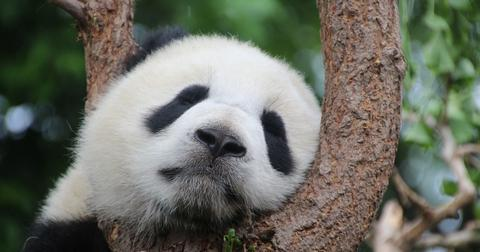 uploads/2019/05/panda-1236875_960_720.jpg
