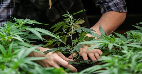 uploads/2019/09/cannabis-2-1.jpeg