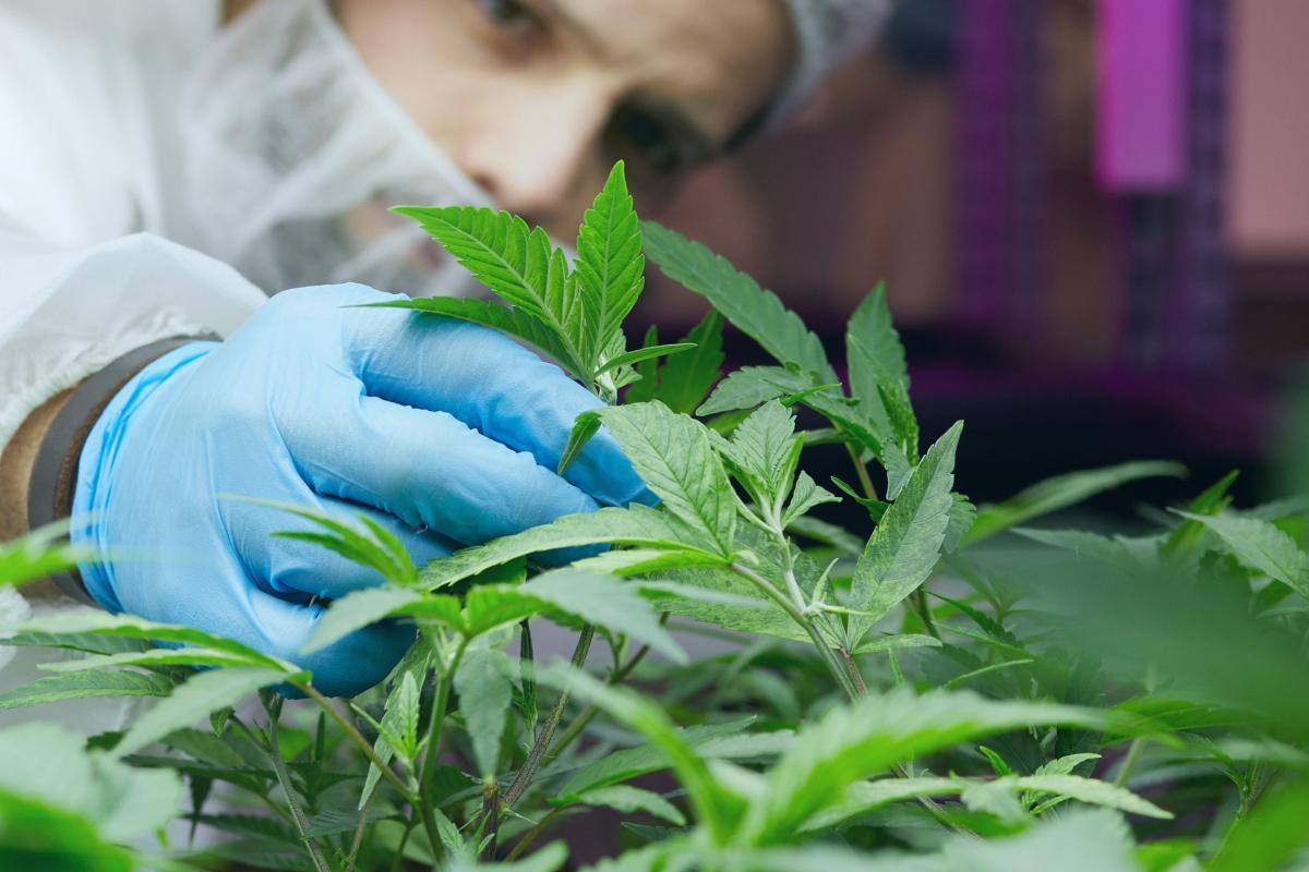 plante de cannabis