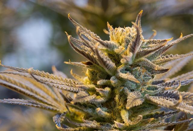 uploads///cannabis _