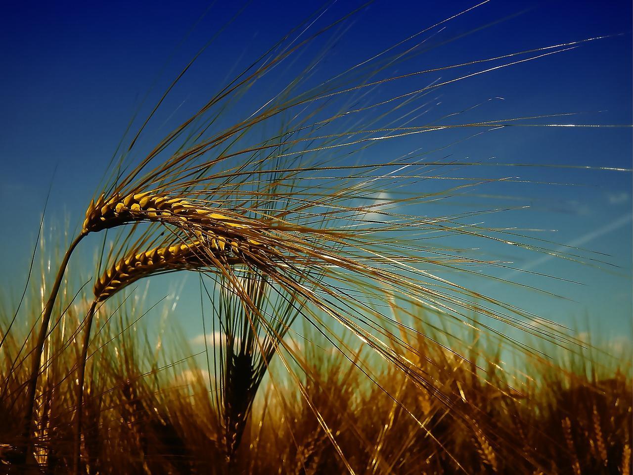 uploads///wheat _