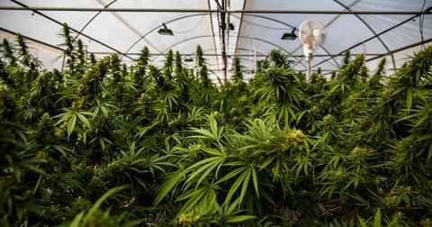 producteur de marijuana