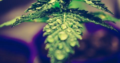 uploads/2020/04/marijuana02.jpg