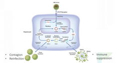 uploads///Hepatitis B virus life cycle