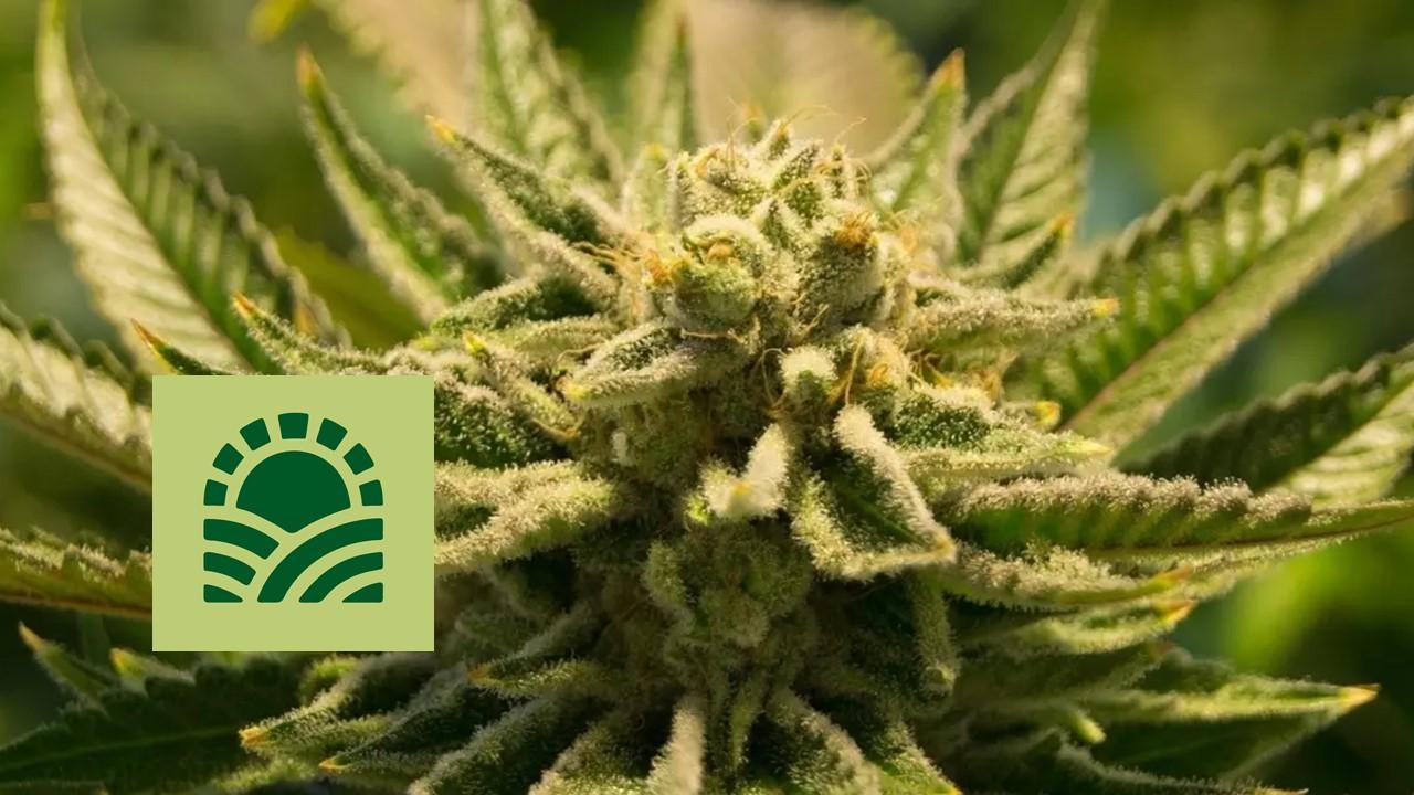 Marijuana plant and Green Thumb logo