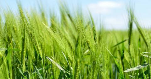 uploads/2018/08/barley-872000_1280.jpg