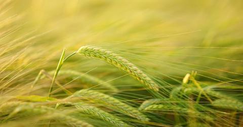uploads/2018/11/barley-2117454_1280.jpg