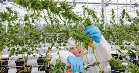 Worker at a cannabis farm