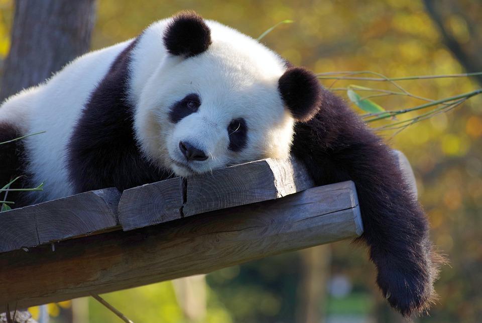 uploads///panda china