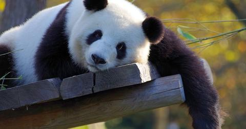 uploads/2019/05/panda-china.jpg
