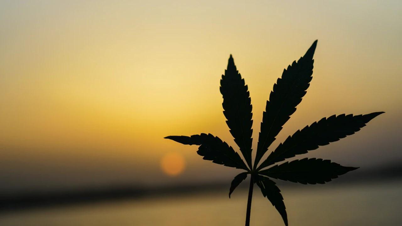 uploads///aurora cannabis q results