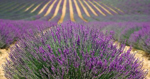 uploads/2018/07/lavender-894919_1280-1.jpg